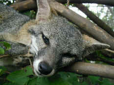 gray fox.jpg (86197 bytes)