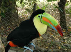 keel billed toucan.jpg (66845 bytes)