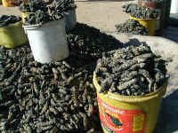 mopani_worms.jpg (60813 bytes)