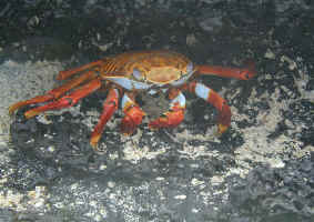 sally_crab2.jpg (109901 bytes)